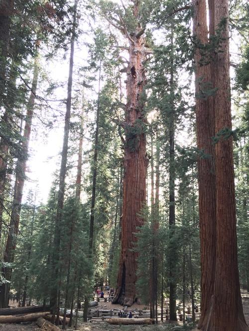 Sequoia07